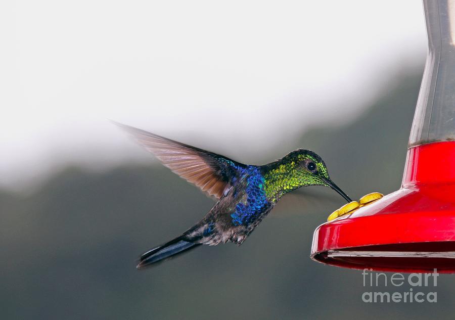 Hummingbird Photograph - Hummingbird by Carey Chen