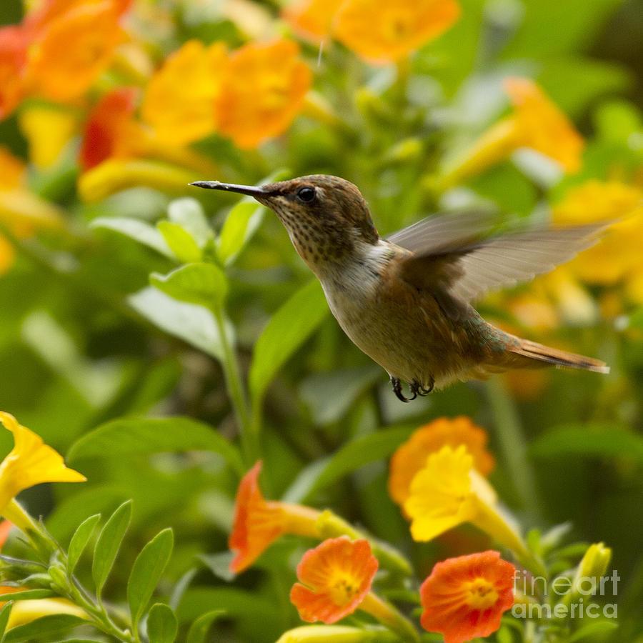 Bird Photograph - Hummingbird Looking For Food by Heiko Koehrer-Wagner
