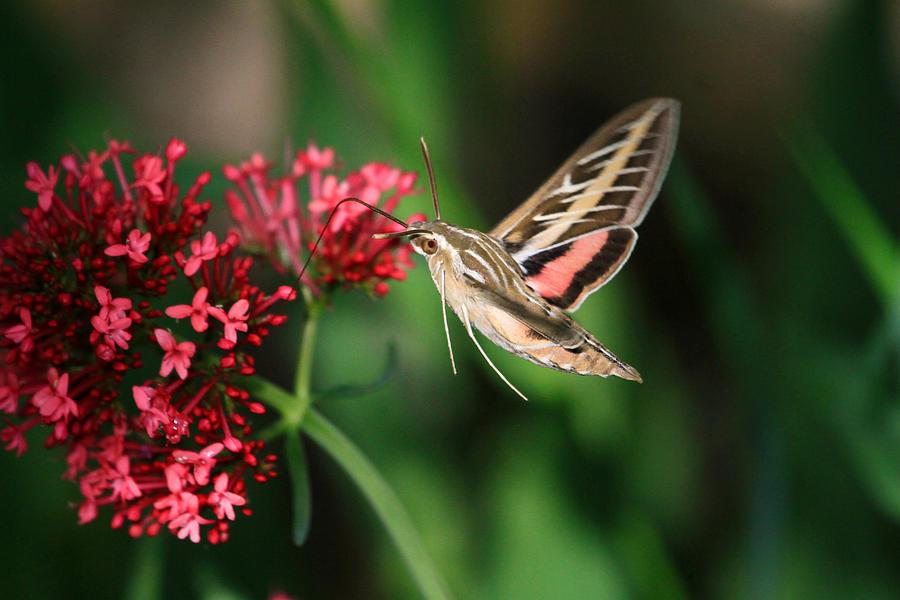 Hummingbird Moth Photograph - Hummingbird Moth by Donna Kennedy