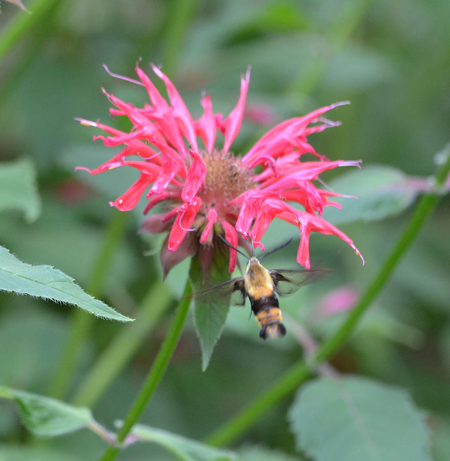 Moth Photograph - Hummingbird Moth by Richard Bryce and Family