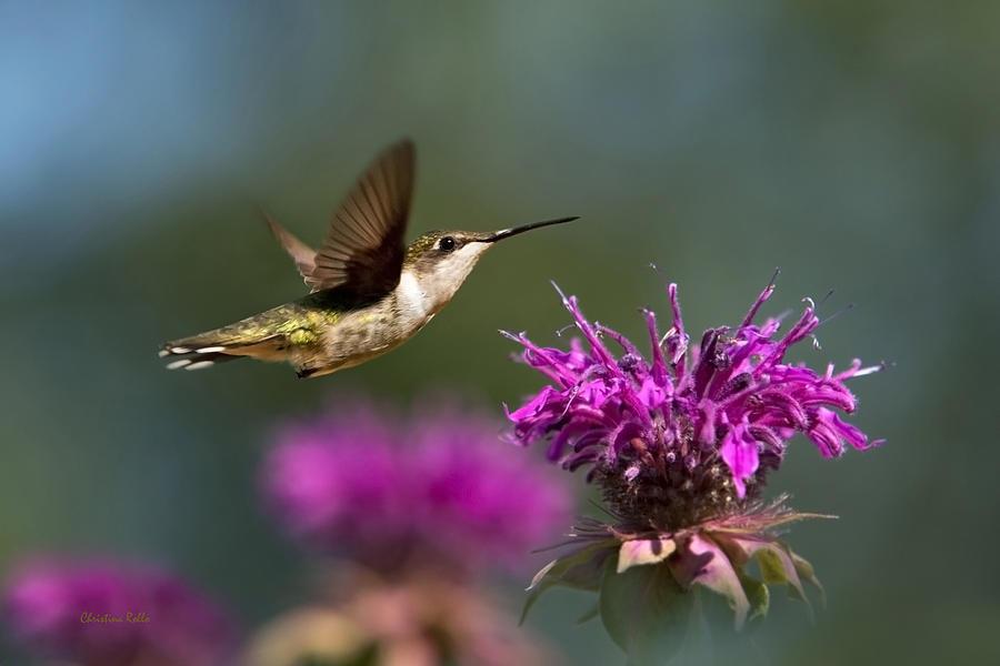 Hummingbird Photograph - Hummingbird Moving Along by Christina Rollo