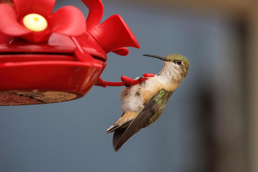 Hummingbird Photograph - Hummingbird On Feeder by Alan Hutchins