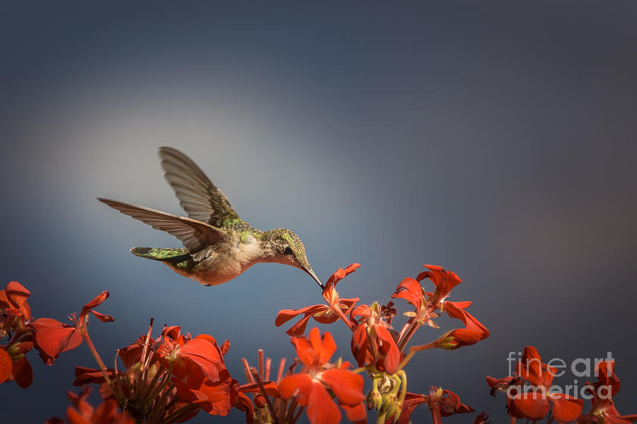 Hummingbird or My Summer Visitor by Jola Martysz