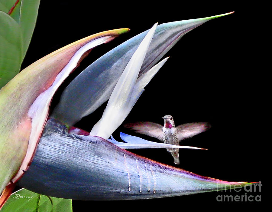 Hummingbird Paradise by Jennie Breeze