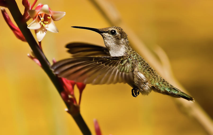 Birds Photograph - Hummingbird by Robert Bales