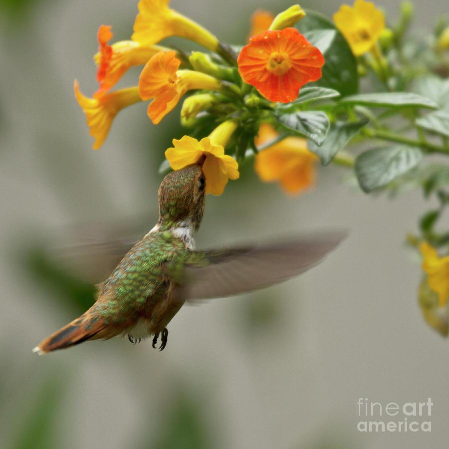 Bird Photograph - Hummingbird Sips Nectar by Heiko Koehrer-Wagner