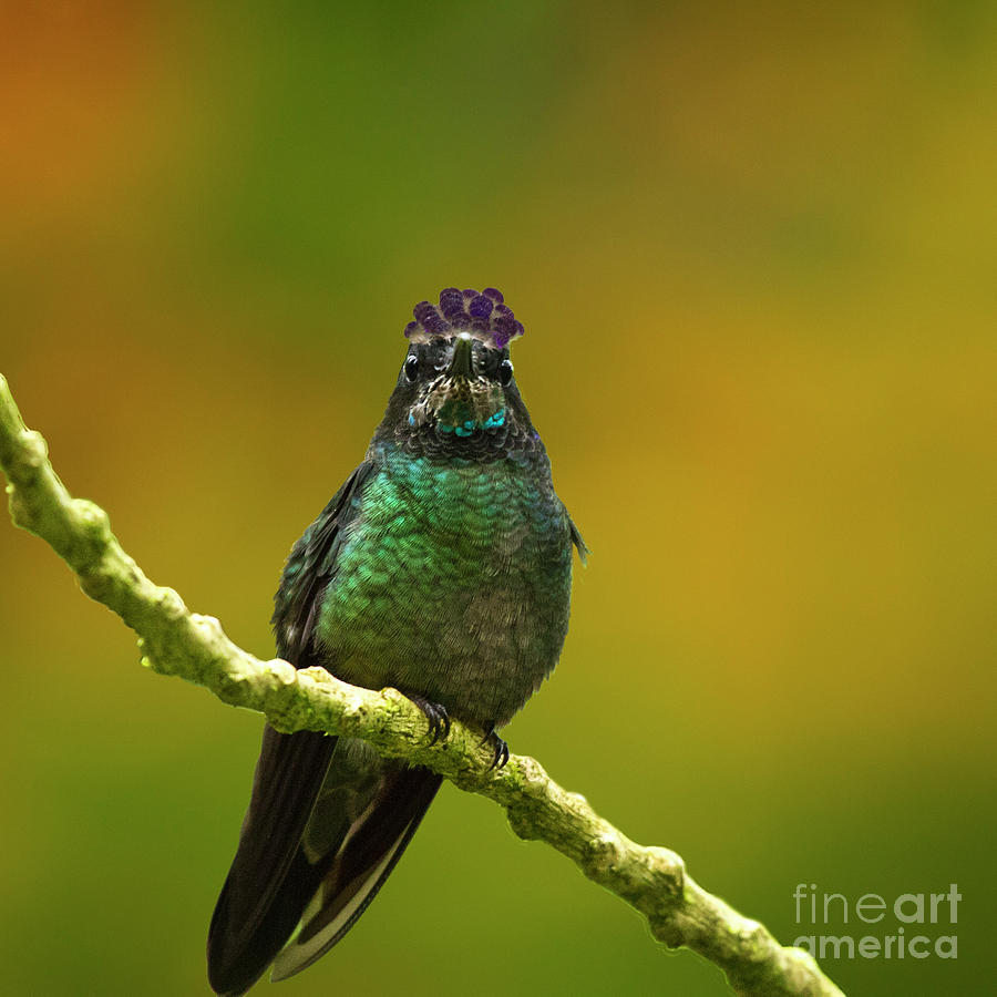 Magnificent Hummingbird Photograph - Hummingbird With A Lilac Crown by Heiko Koehrer-Wagner