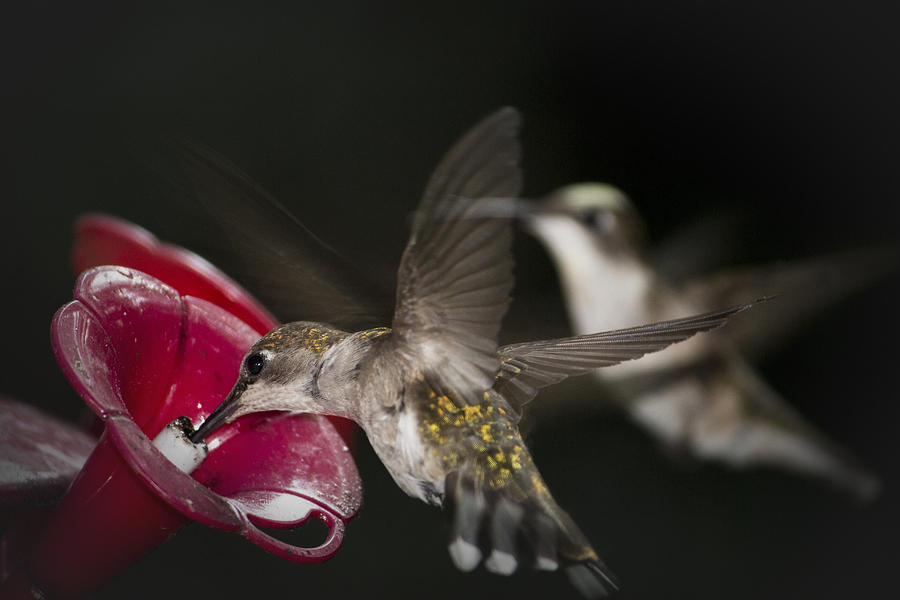 Hummingbirds In Flight Photograph by Nelson Watkins