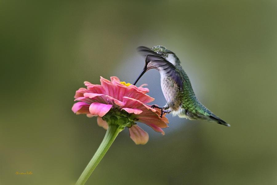 Hummingbird Photograph - Hummingbirds Pure Goodness by Christina Rollo