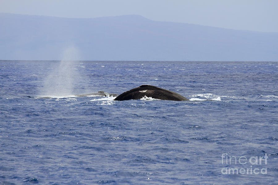 Whales Photograph - Humpback Pair by Mike  Dawson