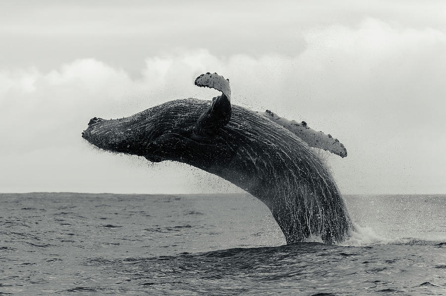 Humpback Whale Breaching Against A Photograph by By Wildestanimal