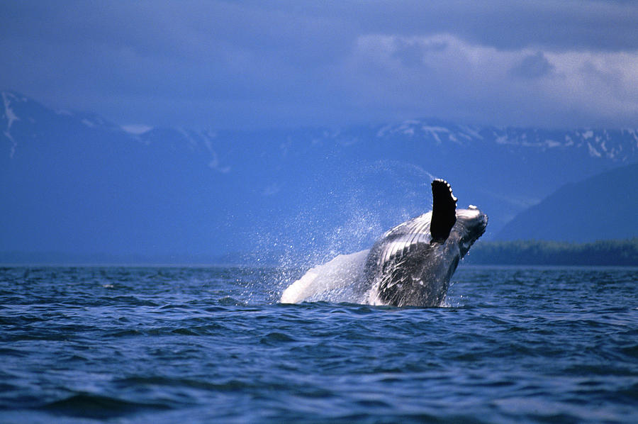 Humpback Whale Breaching Photograph by Mark Newman