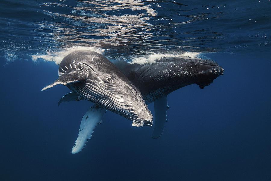 Whale Photograph - Humpback Whale Family! by Barathieu Gabriel
