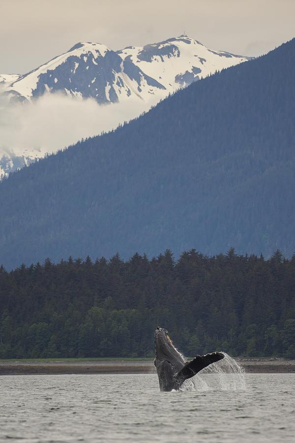 Humpback Whale in Alaska 73A6815  by David Orias