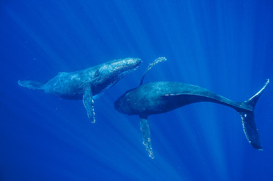 Humpback Whale Males Interacting Maui Photograph by Flip Nicklin