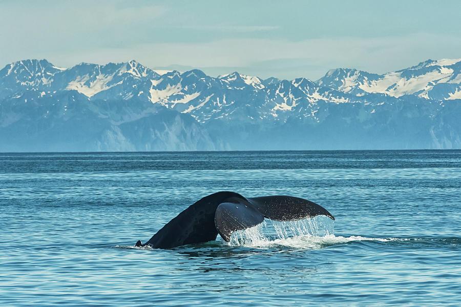 Humpback Whale  Megaptera Novaeangliae by Marg Wood