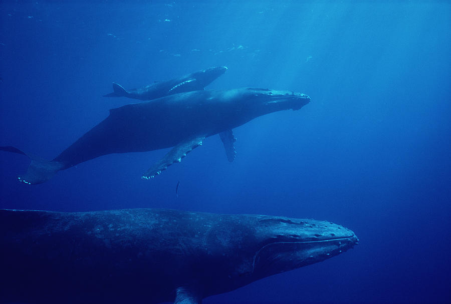 Humpback Whale Mother Calf And Male Photograph by Flip Nicklin