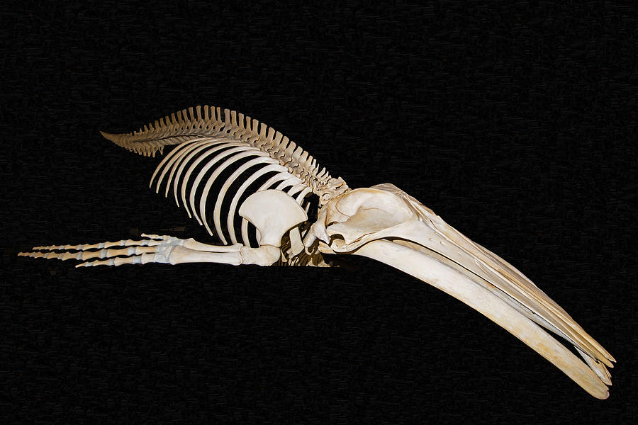 Humpback Whale Skeleton Photograph By Millard H Sharp