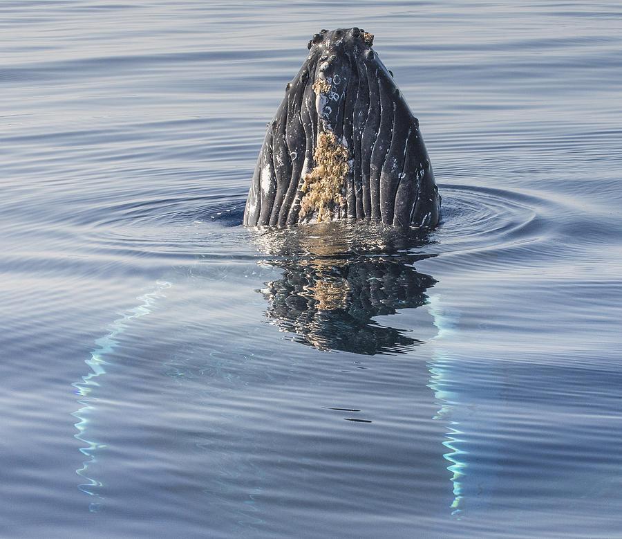 Humpback Whale Spyhopping Maui Hawaii Photograph by Flip  Nicklin