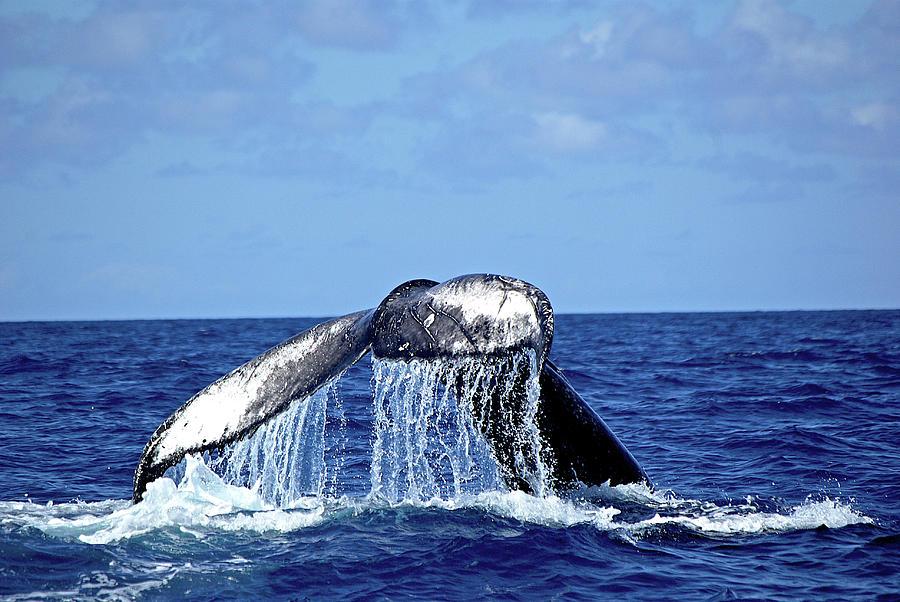 Humpback Whale Tail Slapping Photograph by Sallyrango