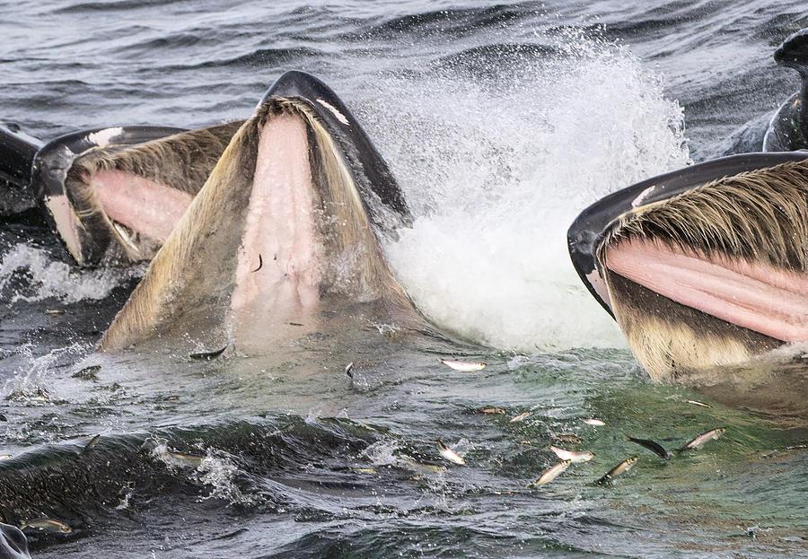 Humpback Whales Gulp Feeding Alaska Photograph by Flip  Nicklin