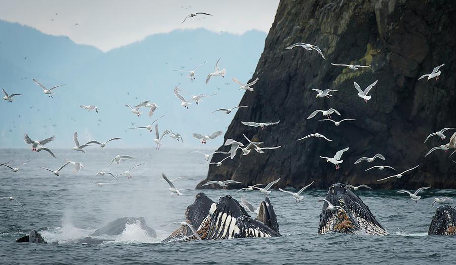 Humpback Whales  Megaptera Novaeangliae by Marg Wood