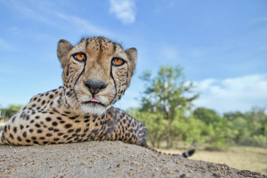 Cheetah Photograph - Hungry Cheetah by Alessandro Catta