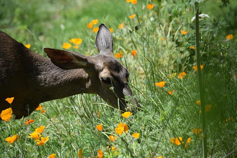 Hungry Deer Photograph