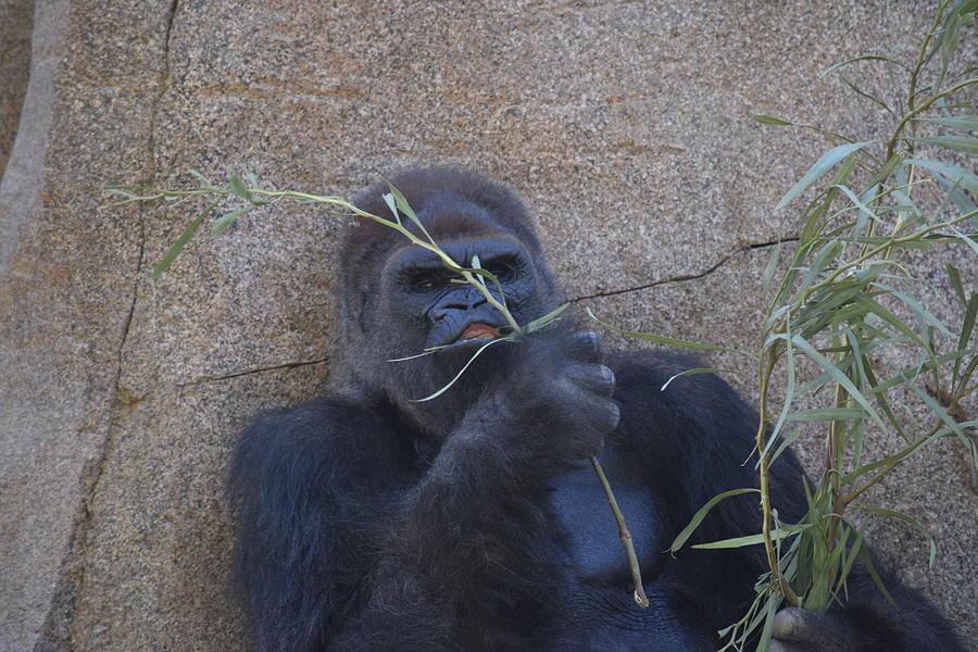Hungry Gorilla Photograph