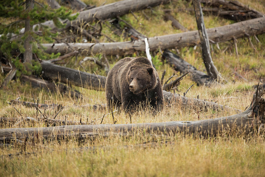Grass Photograph - Hungry Grizzly Bear by © J. Bingaman Photography
