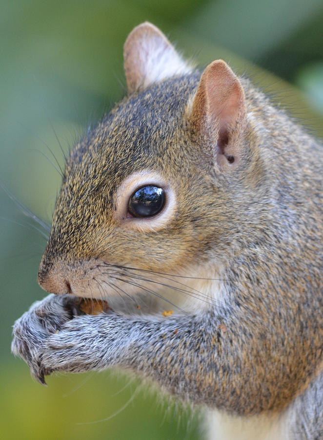 Squirrel Photograph - Hungry Squirrel by Richard Bryce and Family