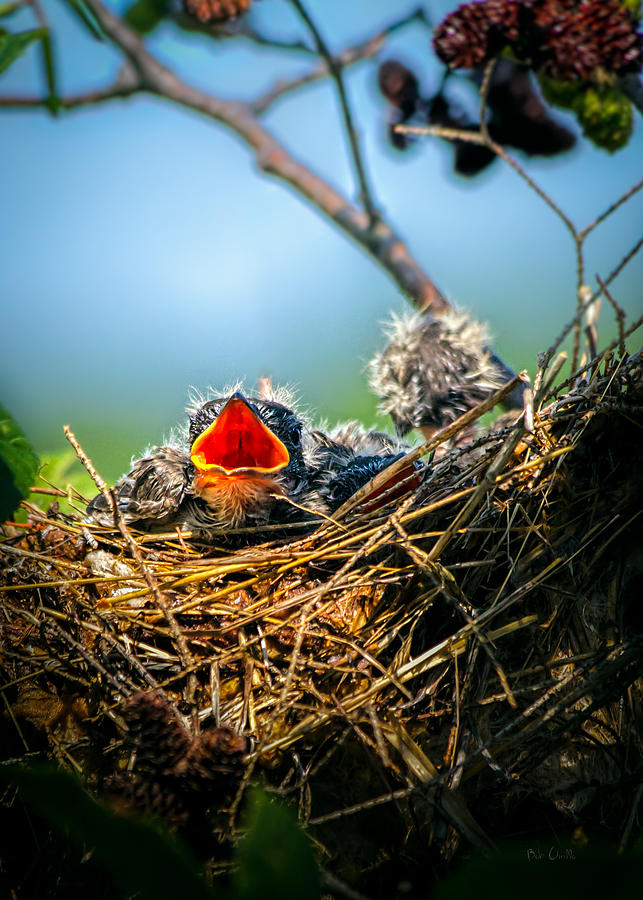 Swallows Photograph - Hungry Tree Swallow Fledgling In Nest by Bob Orsillo