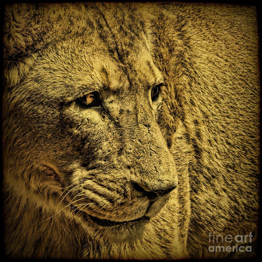 Lion Photograph - Hunter by Andrew Paranavitana