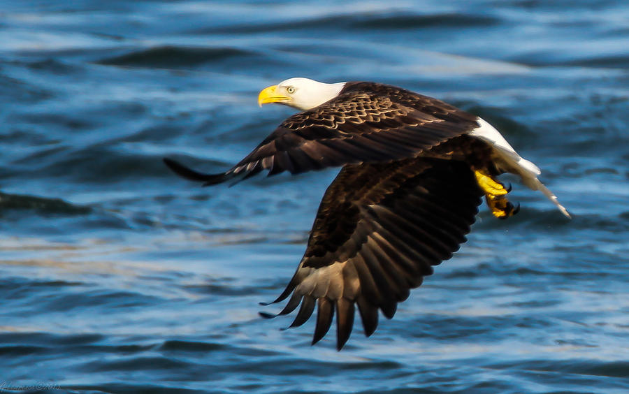 American Bald Eagles Photograph - Hunters Eye  by Glenn Lawrence