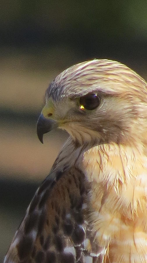 Hawk Photograph -  Hawkeye by Diane Mitchell