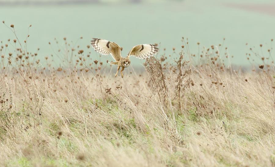 Owl Photograph - Hunting Short Eared Owl by Prashant Meswani