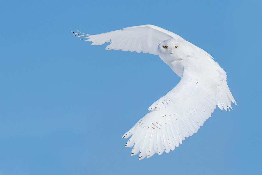 Owl Photograph - Hunting Snowy Owl by Mircea Costina