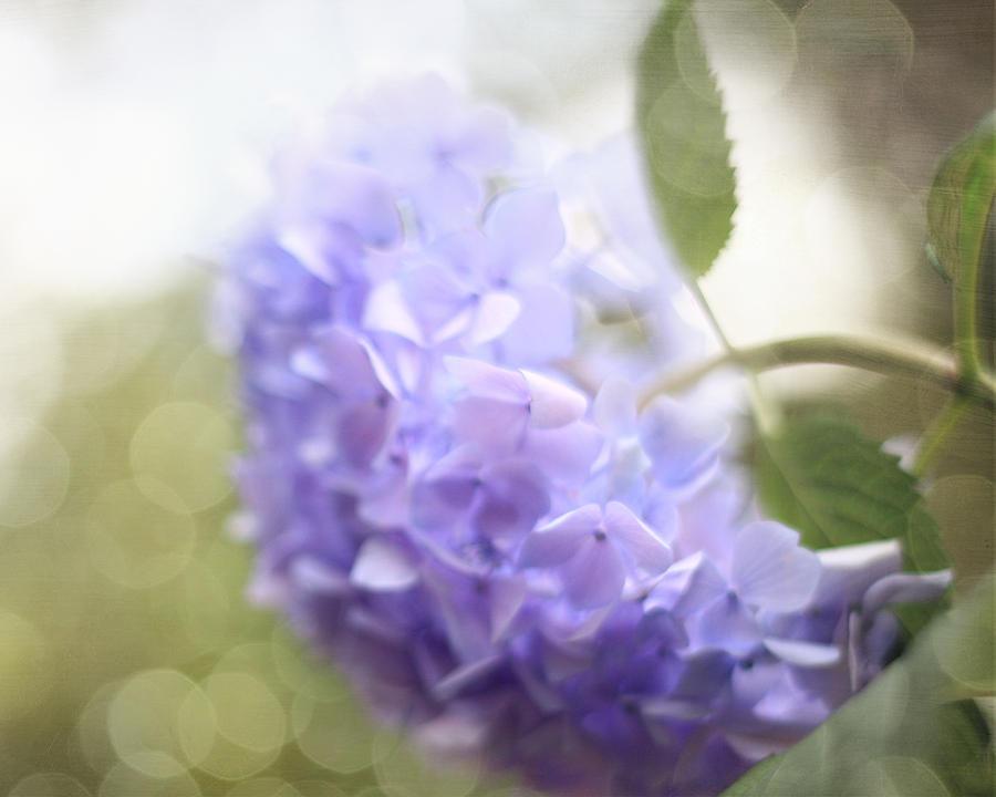 Hydrangeas Photograph - Hush by Amy Tyler