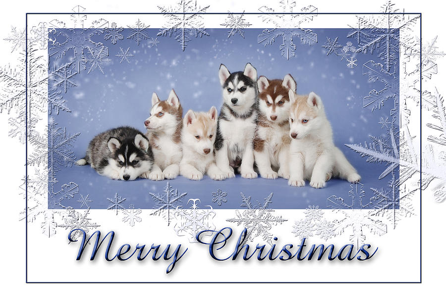 Husky Christmas Card Photograph by Waldek Dabrowski