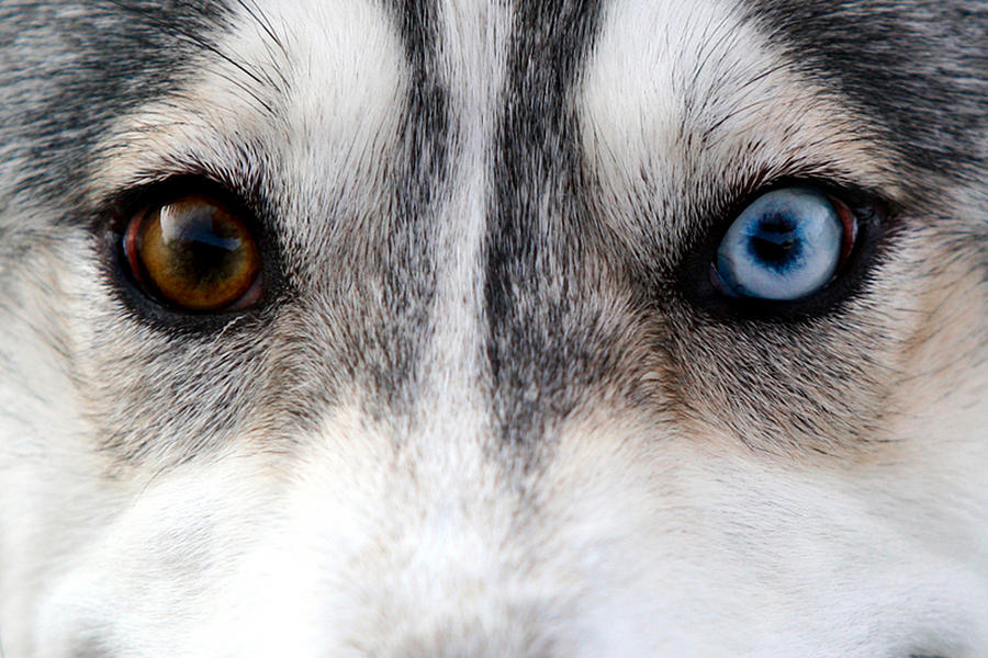 Husky Eyes Photograph By Keith Allen