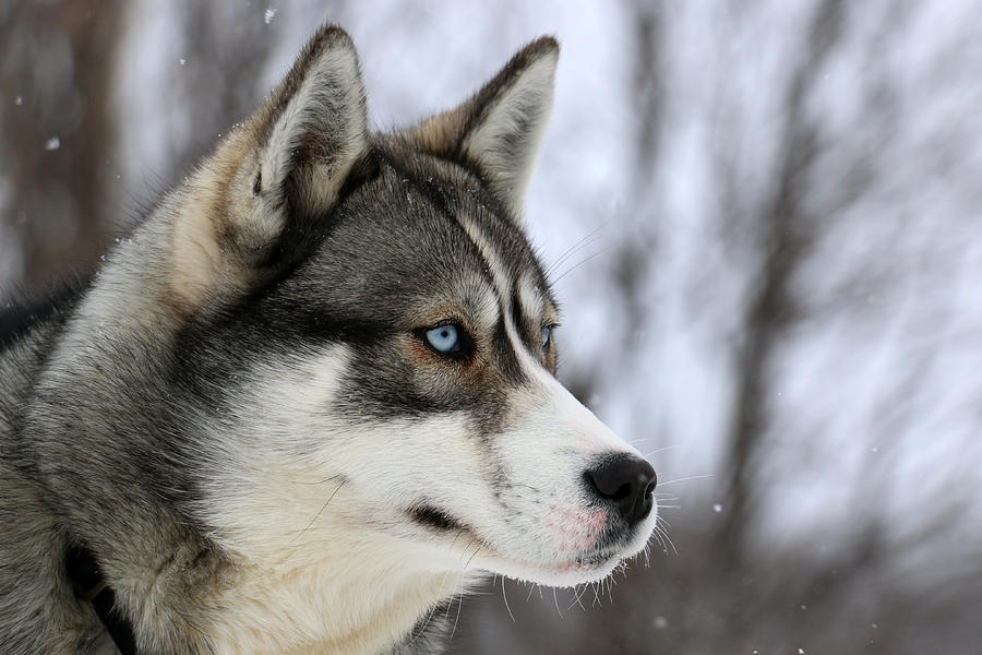 Husky Looking Away, Quebec, Canada Photograph by Jonathan