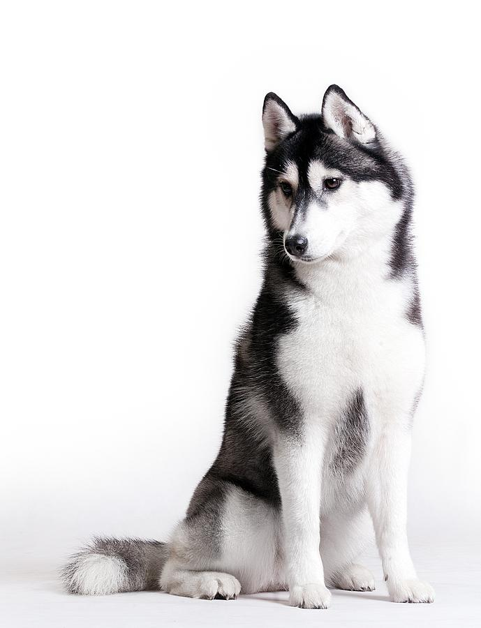 Husky On White Photograph by JanekWD