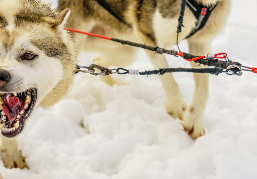 Horizontal Photograph - Husky Sled Dogs, Lapland, Finland by Panoramic Images