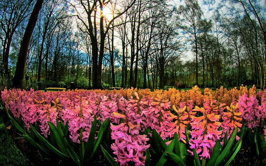 Hyacinth Flowers Announce Spring Photograph by Elfi Kluck