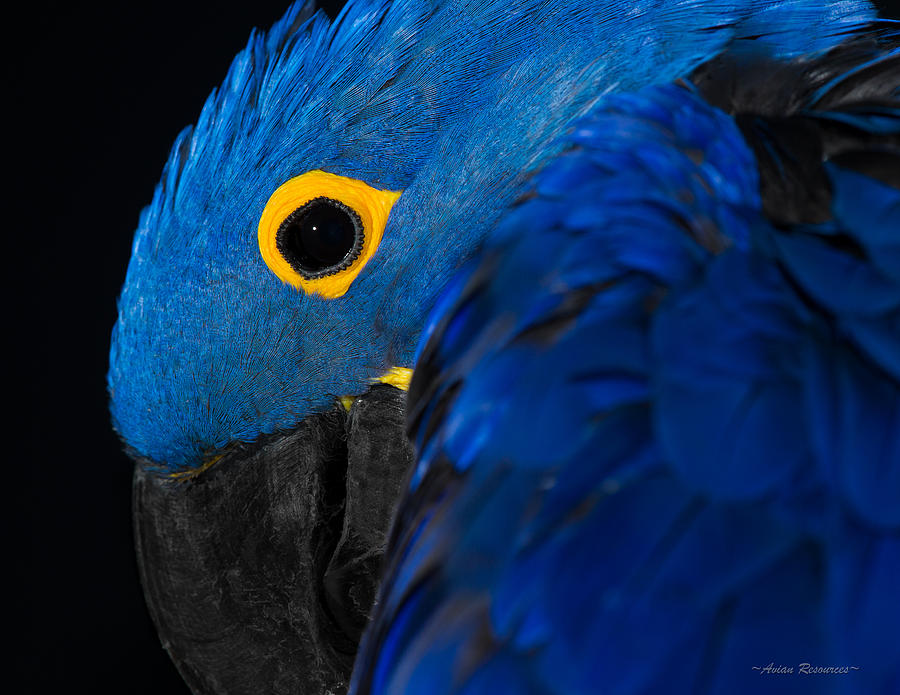 Hyacinth Macaw 1 by Avian Resources