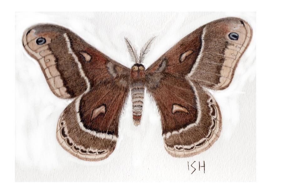 Moth Painting - Hyalophora Cecropia/gloveri Hybrid Moth by Inger Hutton