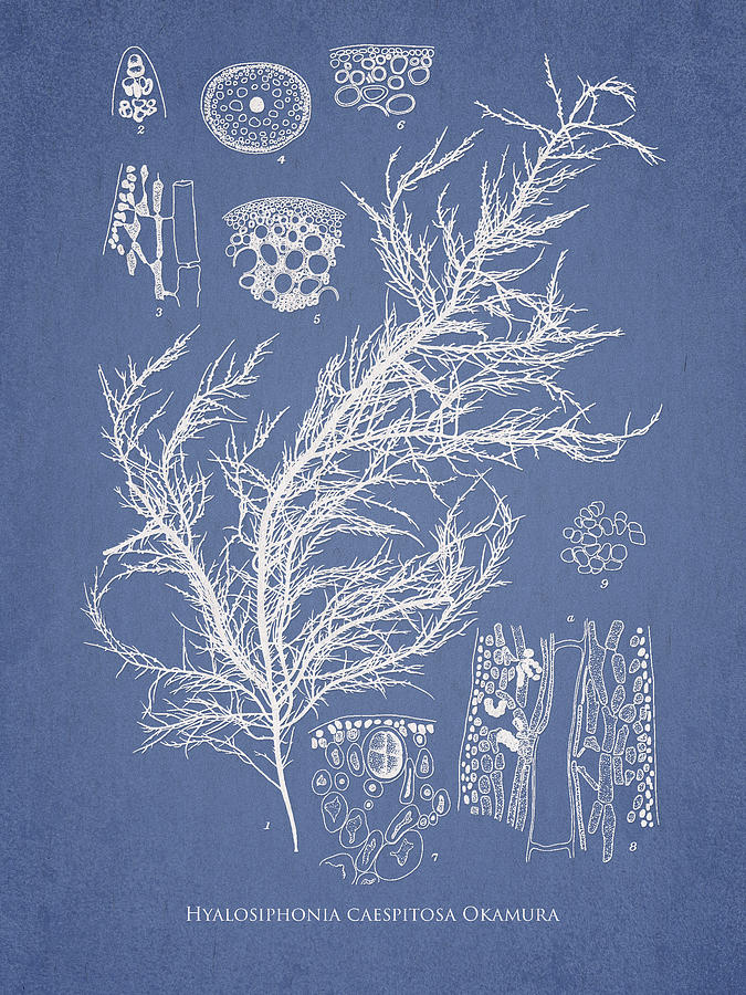 Algae Drawing - Hyalosiphonia Caespitosa Okamura by Aged Pixel