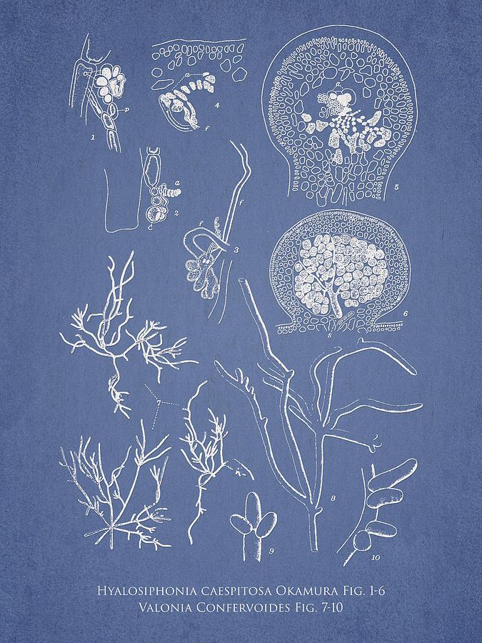 Algae Digital Art - Hyalosiphonia Caespitosa Okamura Valonia Confervoides by Aged Pixel