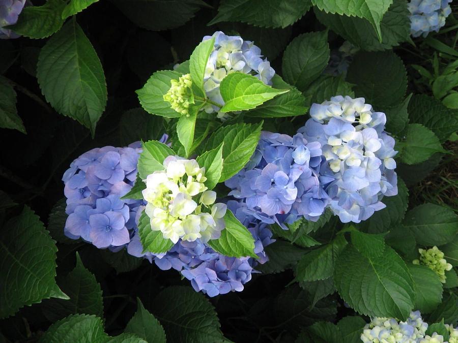 Hydrangea by Deb Martin-Webster