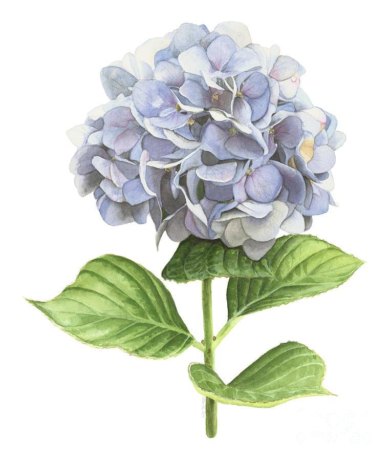 Blossom Painting - Hydrangea by Elizabeth R Smith